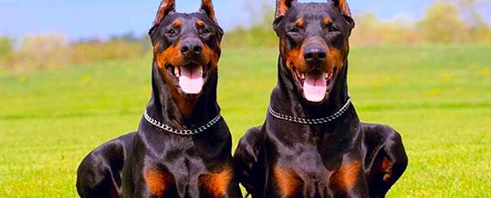 Охранная собака лучше, чем охранная сигнализация в Лондоне?