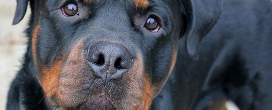 Лучшие охранные собаки для домашней безопасности в Лондоне