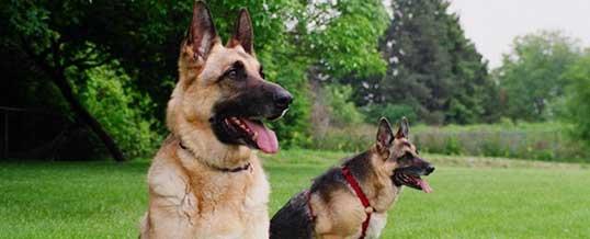 Собаки-охранники в Лондоне