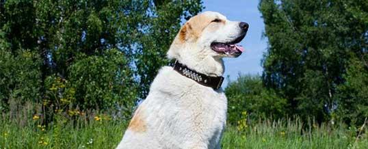 Обучение охранных собак для дома в Лондоне